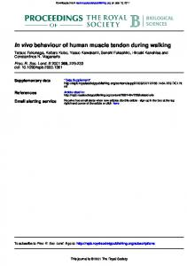 behaviour of human muscle tendon during walking In ...