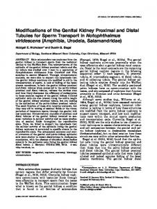 Modifications of the genital kidney proximal and distal ...