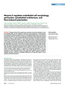 Nesprin-3 regulates endothelial cell morphology ... - BioMedSearch