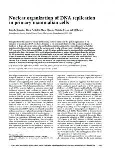 Nuclear organization of DNA replication in primary mammalian cells