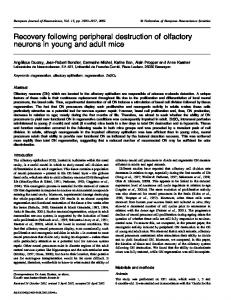 Recovery following peripheral destruction of olfactory neurons in ...