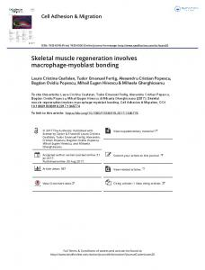 Skeletal muscle regeneration involves macrophage