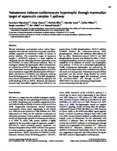 Testosterone induces cardiomyocyte hypertrophy through mammalian ...