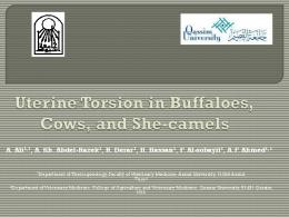 Uterine Torsion in Buffaloes, Cows, and She-camels
